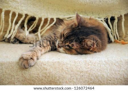 cat sleeping under blanket - stock photo