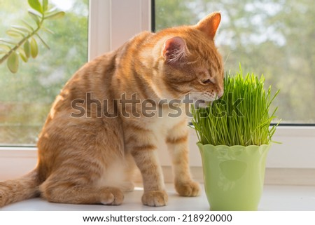 Cat sniffing and munching a vase of fresh catnip - stock photo