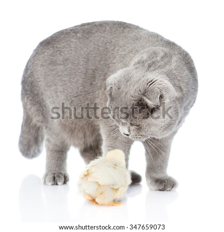 Cat sniffing chicken. isolated on white background