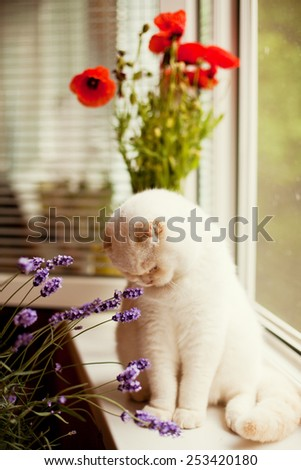 cat sniffs lavender and poppy - stock photo