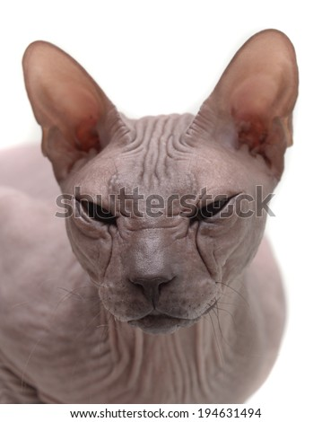 cat (sphynx cat) - stock photo