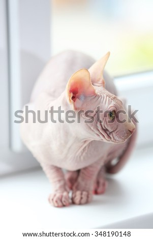 Cat sphynx on light background