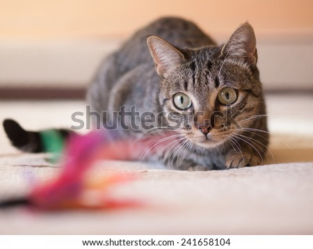 Cat stalking his feather toy on a bed at home - stock photo