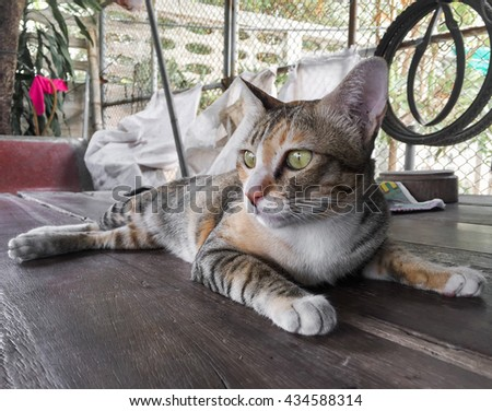cat thai nature, lovely pet