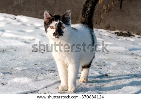 Cat walking in snow - stock photo