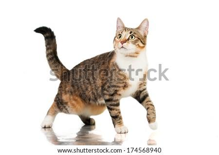 Cat walking isolated on white - stock photo