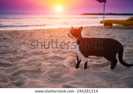 Cat walking on the beach at sunset - stock photo