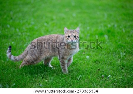 Cat walking on the grass. Focus on eyes. - stock photo