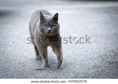 Cat walking on the street / Cat portrait with beautiful eyes / Grey cat on the street / Chartreux cat