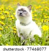 cat  walks in the meadow among the dandelions - stock photo