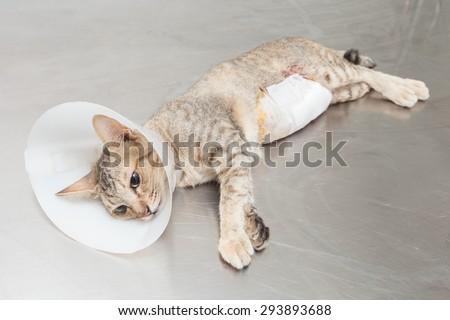Cat wearing Elizabethan collar after sterilizations  - stock photo