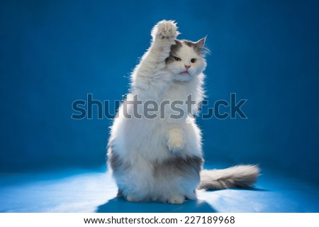 Cat welcomes all paw on blue isolated background - stock photo