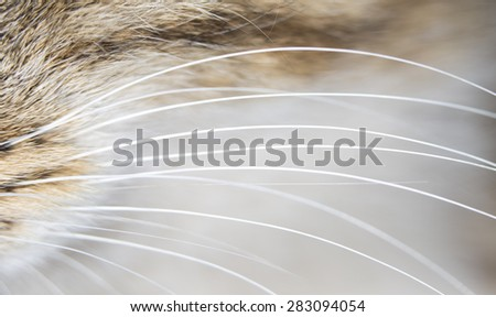 cat whiskers. close