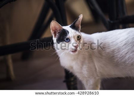 cat white asks. White cat with black spots, and the eyes of different colors opened his mouth to beg food from the owners or snaps - stock photo