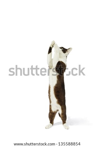 Cat white brown spotted isolated on white background.