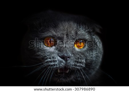 cat wild glance bulging eyes and open mouth - stock photo