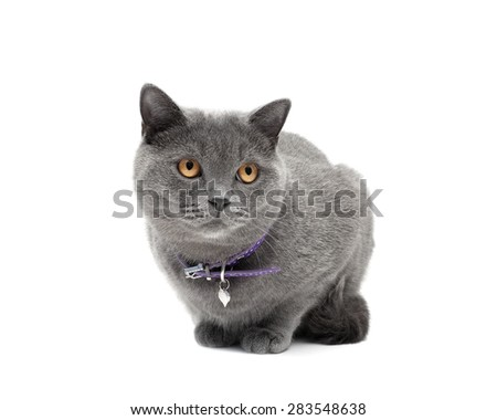cat with a collar on a white background close-up. horizontal photo.