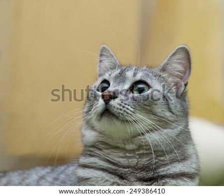 Cat with big eyes portrait, cat face close up, cat head, cat in romantic mood, curious cat, domestic animal, domestic cat, grey cat - stock photo