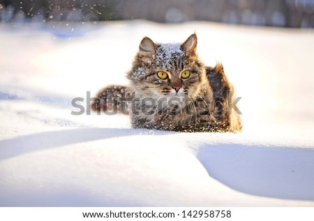 cat with big yellow eyes in winter - stock photo