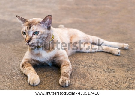 cat with blue eye in left eye lying on the ground - stock photo