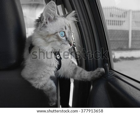 Cat with blue eyes sitting inside the car and looking out the window