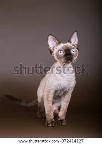 cat with bright blue eyes on a brown background