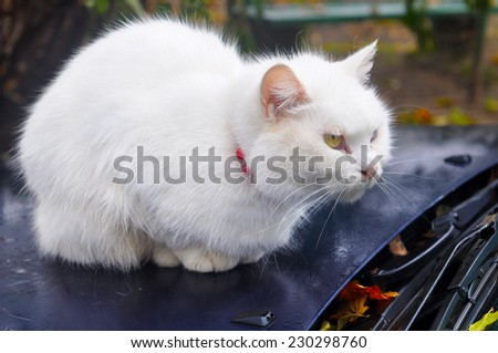 Cat with different colored eyes, unusual.  - stock photo