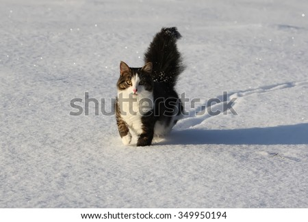 Cat with fluffy tail running on the snow. - stock photo