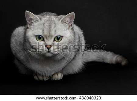 Cat with green eyes. Beautiful Gray British shorthair cat with yellow eyes on a black background. - stock photo