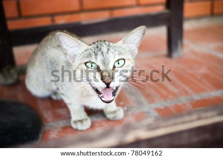 Cat with open mouth with teeth
