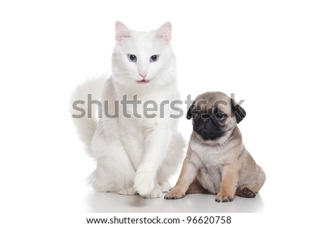 Cat with pug puppy on white