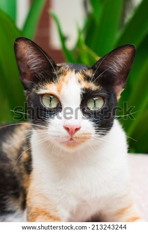 cat with white markings, pink nose and colored eyes - stock photo