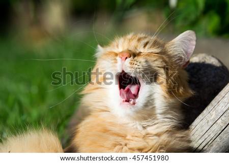 cat yawn - stock photo