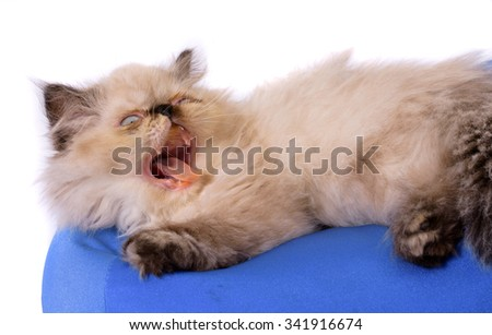 Cat yawning or angry with its mounth open and teeth exposed - A young, two month old Blue Point Himalayan Persian kitten on a blue pillow and white  background - stock photo