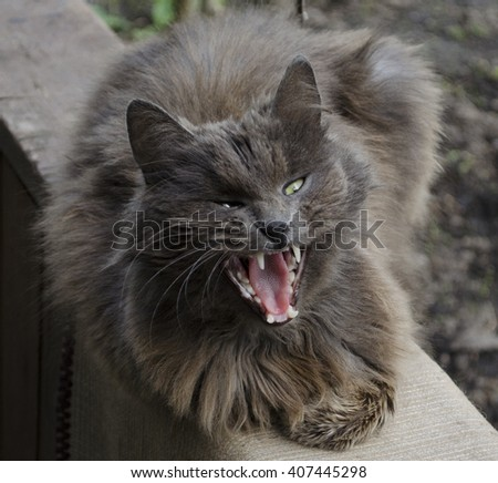 Cat yawning with mouth wide open and shows teeth and tongue