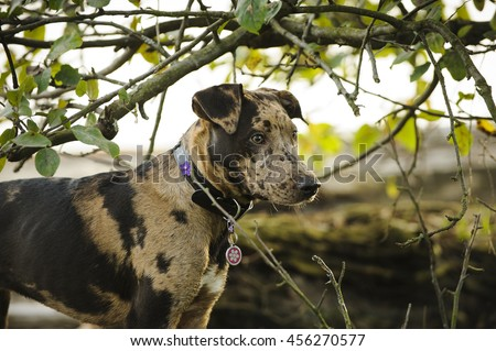 Catahoula Leopard Dog in among branches and trees