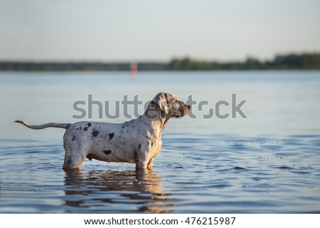 catahoula puppy standing in water