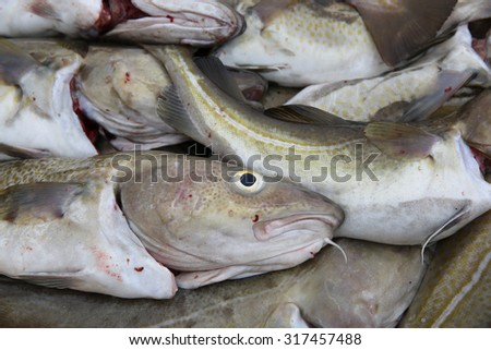 Catch of the Day - Cod Fish in Iceland - stock photo