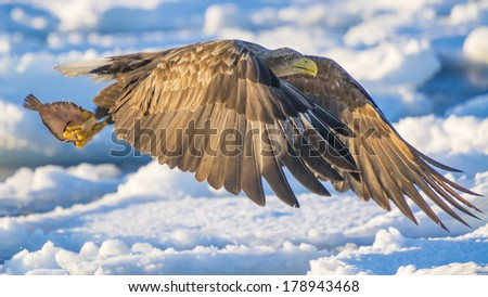 Catch of the day - White-tailed Eagle - stock photo