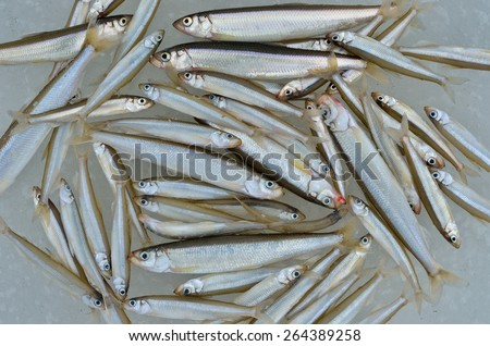 Catch on winter fishing. A close up of the fishes smelt on ice. - stock photo