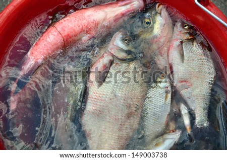 Catching big breams in water in red pail - stock photo