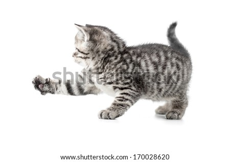 catching british gray kitten with paw up - stock photo