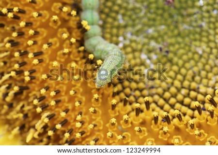 caterpilla on sunflower pollen - stock photo
