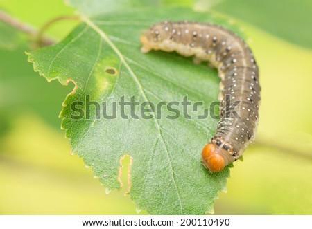 Caterpillar - Achlya flavicornis - stock photo