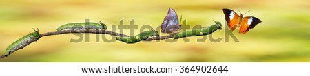 Caterpillar and Tawny Rajah butterfly on twig - stock photo