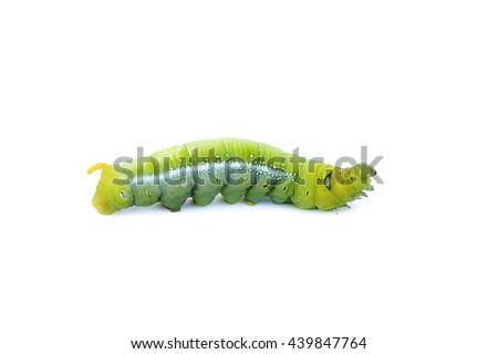 Caterpillar, Big green worm, Giant green worm - stock photo