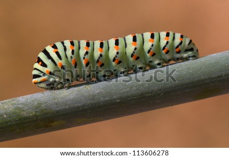 caterpillar butterfly Papilio Machaon - stock photo