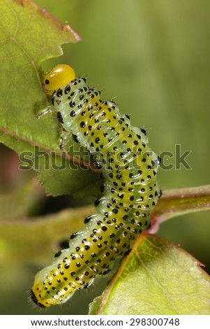 Caterpillar eating leaf. - stock photo