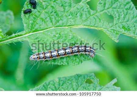 caterpillar eating leaves close up - stock photo