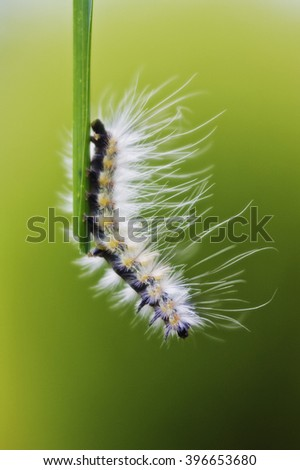 Caterpillar moving down on a grass leaf on a green background  - stock photo